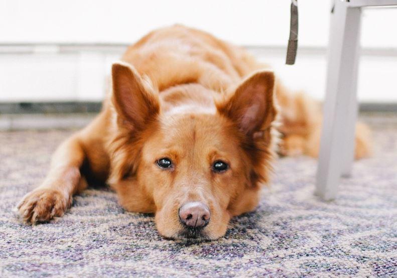 DOG ON CARPET